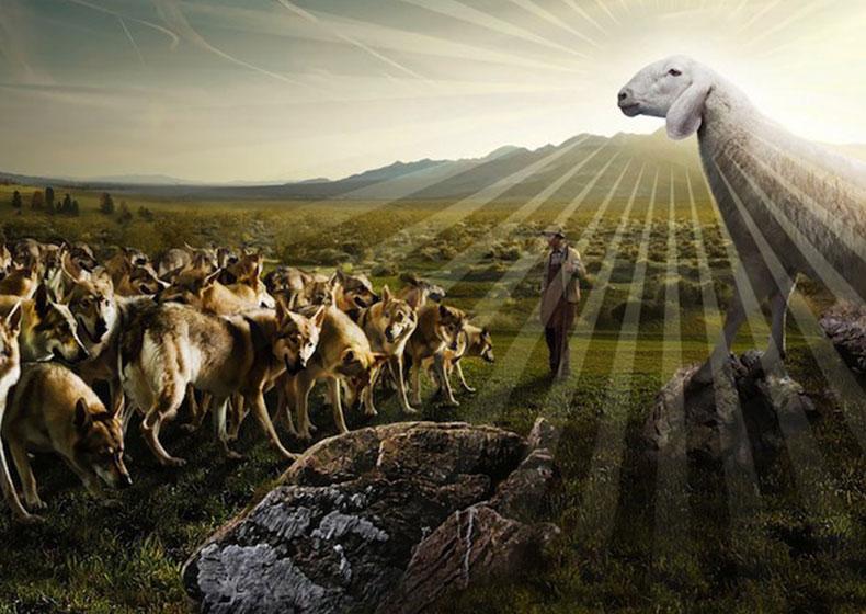 Come agnelli in mezzo ai lupi